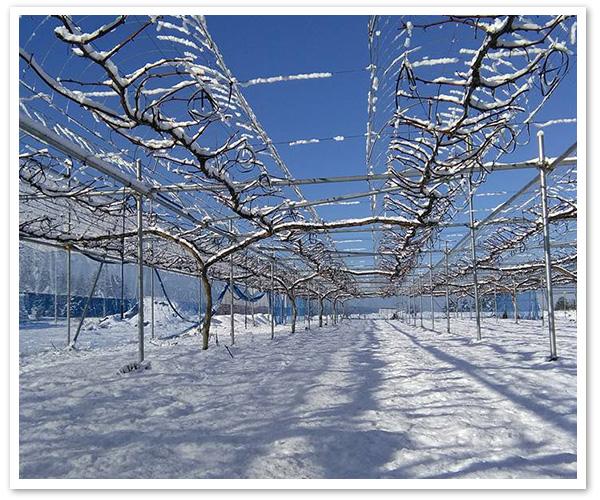 冬のピオーネ畑